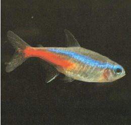 Aquarium Lore Neon Tetra #2: Neon T4