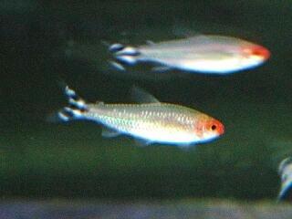 aquarium lore rummy nose tetra