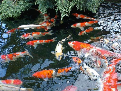 Aquarium lore koi for Koi tank size