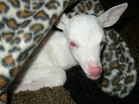 Albino Baby Deer 1