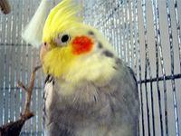 My Cockatiel