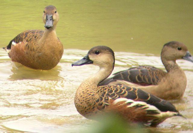 Lesser whistling duck - photo#11