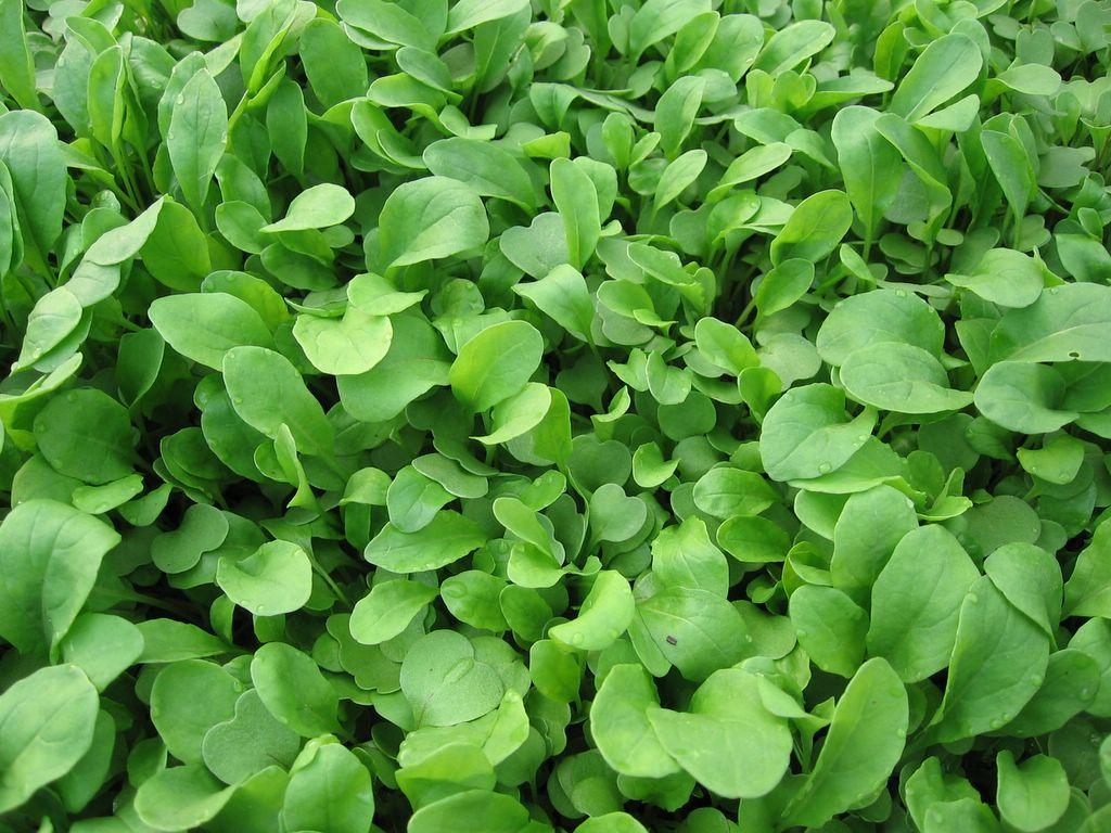 In My Kitchen Garden: Lettuce and Arugula in the Garden ...