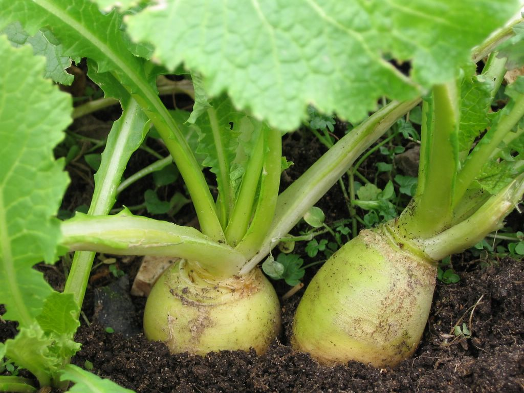 Lowly Turnips Are Tip Top In The Garden: How To Grow Turnips From Seed U0026 What  To Do With Them