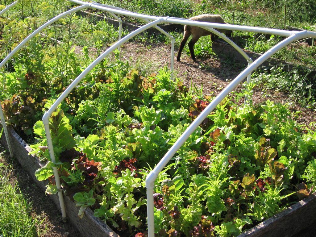Kitchen Garden Seeds In My Kitchen Garden Whats Growin On 7 5 06