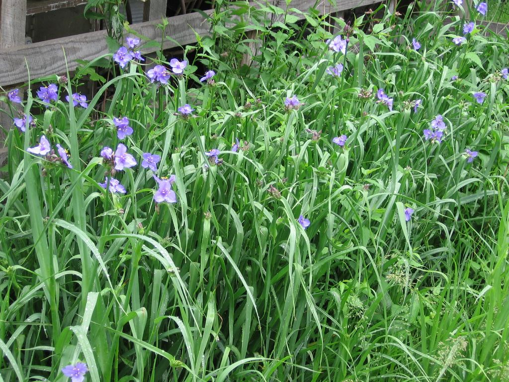 In My Kitchen Garden Spiderwort A Beautiful Easy To Grow