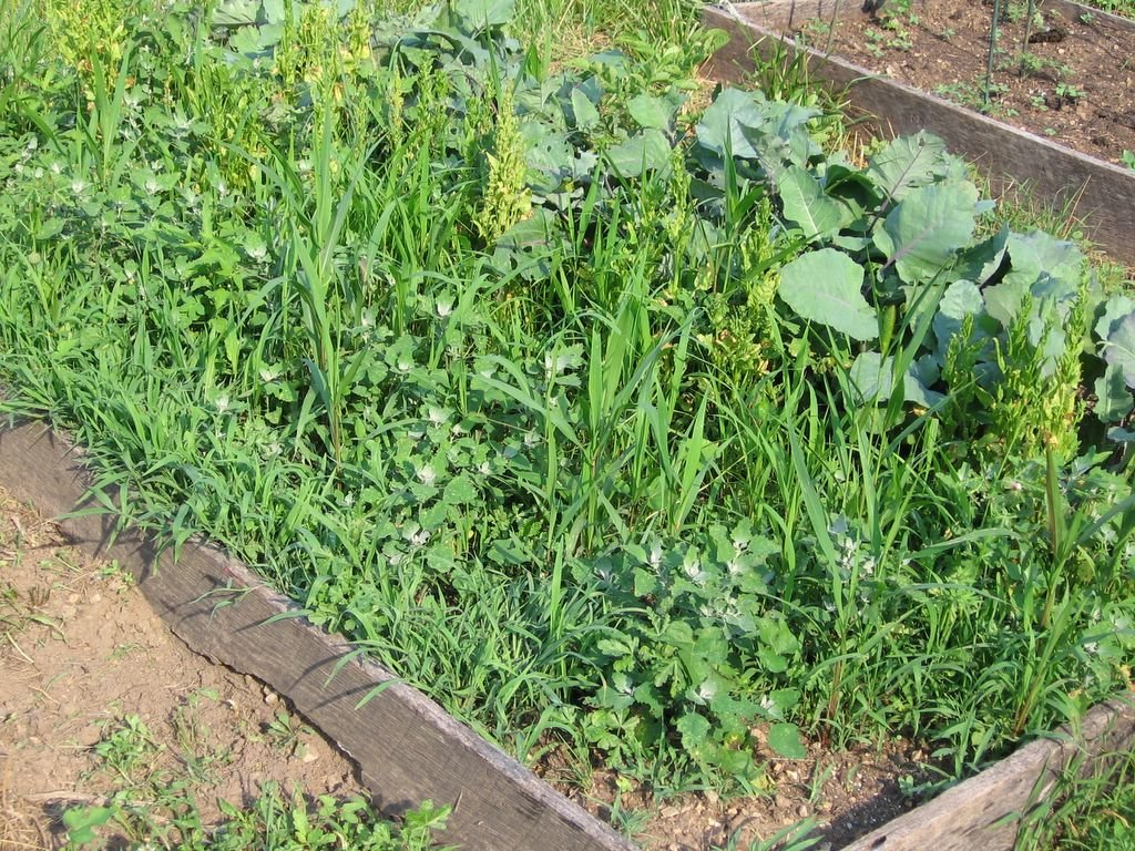 Weeds flower beds - In My Kitchen Garden How To Use A Scuffle Hoe To Weed The Vegetable Garden And Why I Love Mine So Much