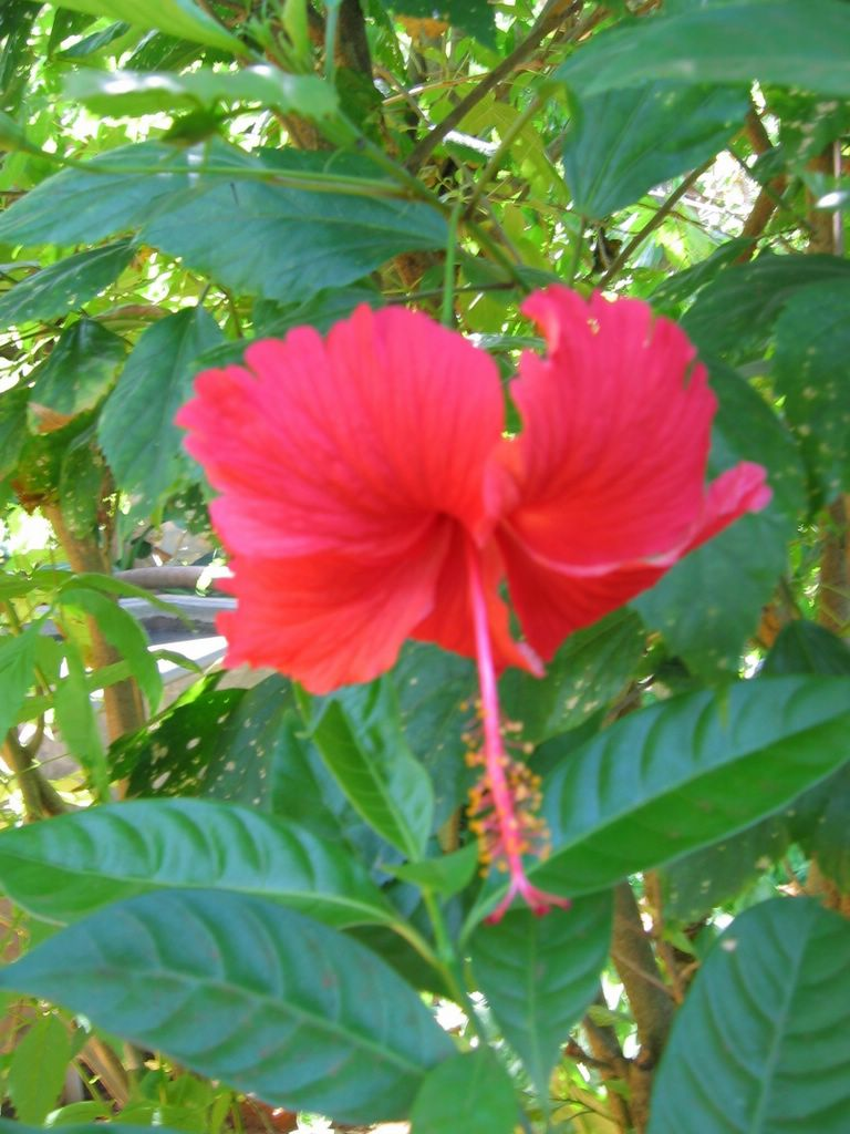 Living with nature may 2006 single petal red shoe flower in thavady jaffna district in sri lanka izmirmasajfo
