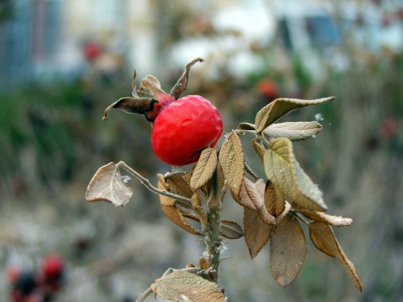 Winter Berry.
