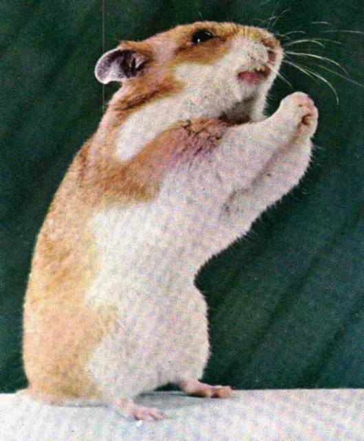 hamster%20-%20pleading.jpg