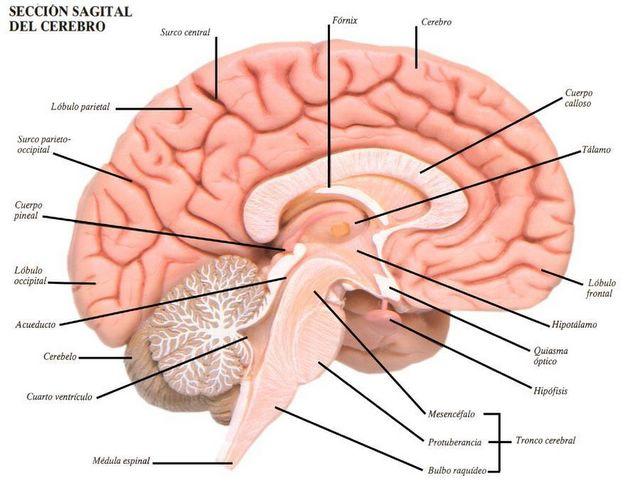 Cerebro humano corte sagital biologiblog paty ovalle