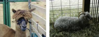 A regular mop-top and a sheepy Becky look-alike
