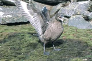 Antarctic_skua_display