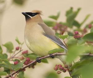 waxwing, what a beautiful bird