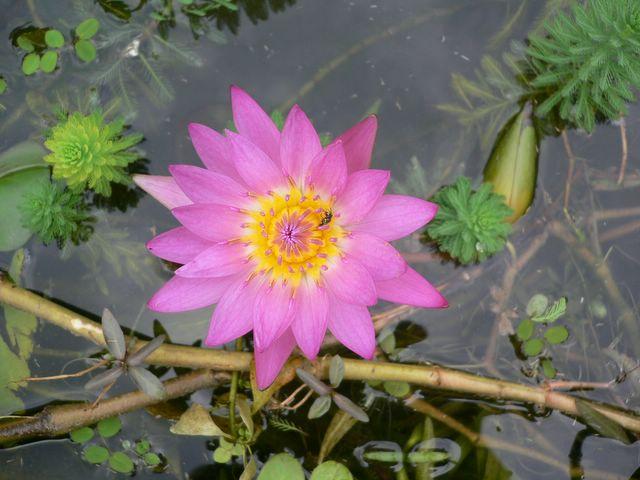 Tea masters - Fleur de lotus bouddhisme ...