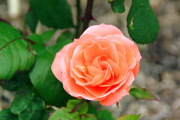 Good Morning Orange Flowers : Daily good morning flowers orange rose
