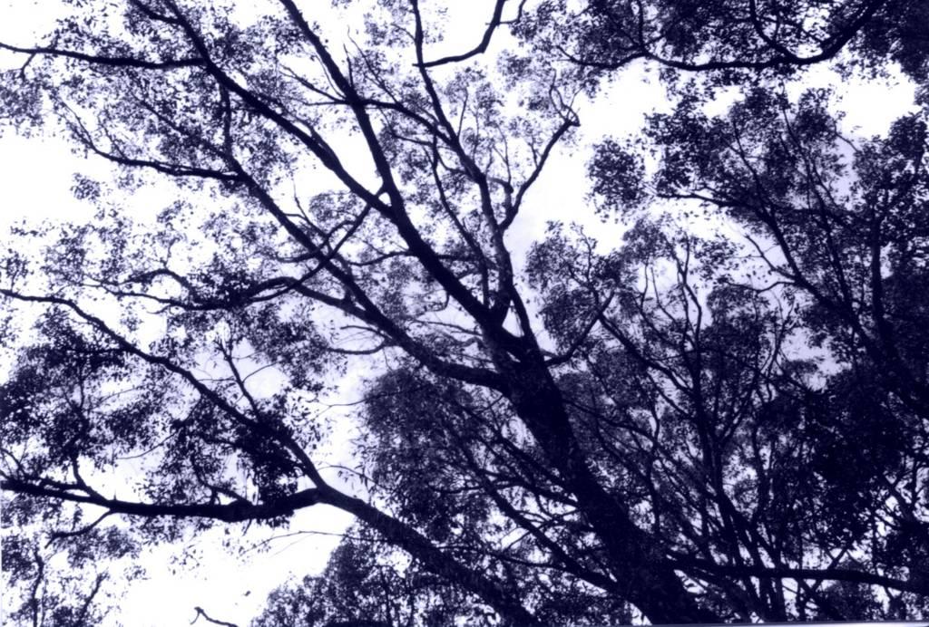 Eucalypts, Ferntree Gully NP