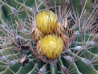 Ferocactus echidne var. victoriensis