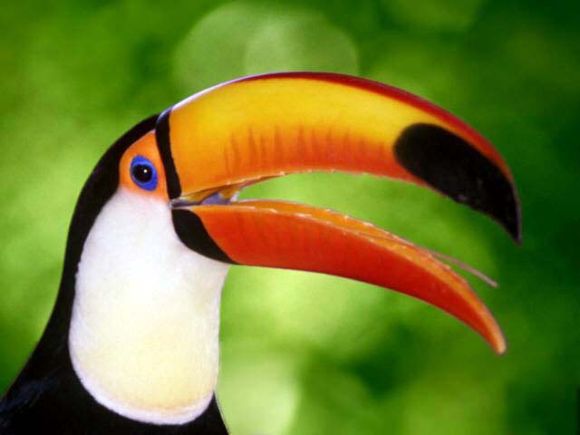 http://photos1.blogger.com/img/116/1742/640/toucan.jpg