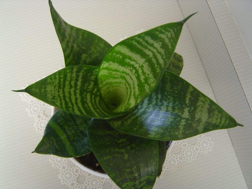 Sansevieria Peygamber Kilici çiceği Lüleburgaz çiçek Arajman Ev