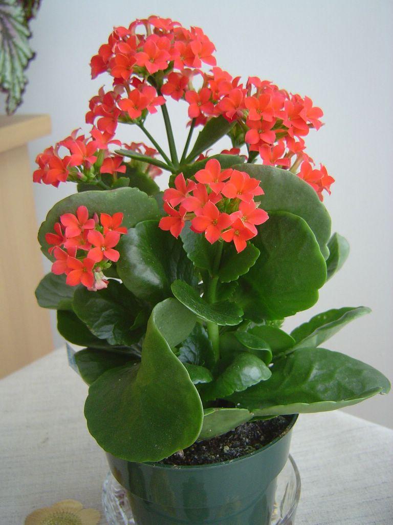 çiçek Deryası Kalanchoe