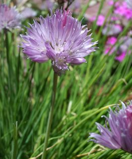 Fresh chive in blossom in a pot on the patio