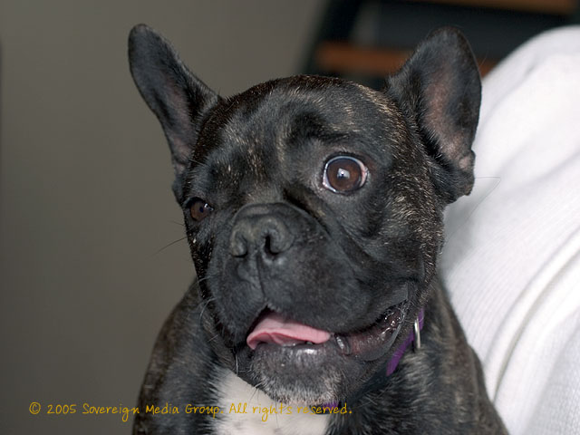 photograph picture of Phineas Frogg, French Bull Dog