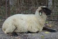 photograph picture of a sheep named Becks