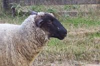 photograph picture of a sheep named Posh