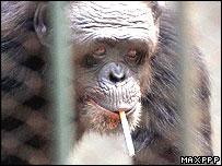 Smoking Chimpanzee