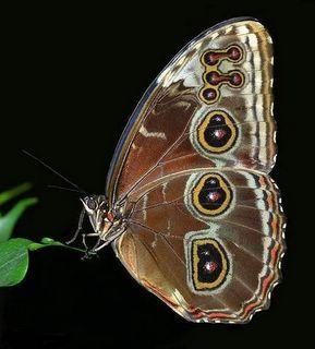 Eat-Me Butterfly
