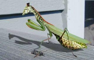 Mantis-Garaffe