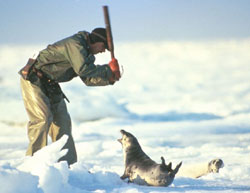 seal being clubbed