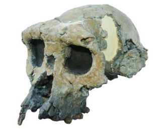 Fossilized Skull identified as human ancestor