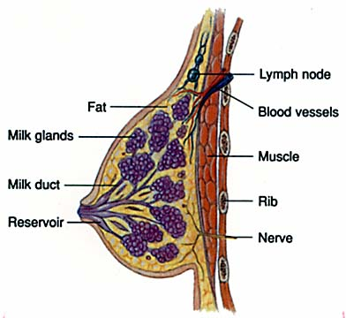 Lymph node involvement in breast cancer