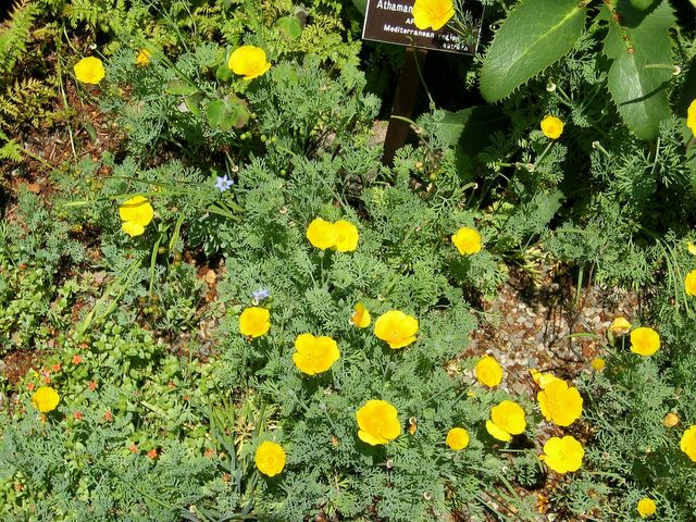 Here and there tuesday july 12 2005 bright yellow flowering ground cover mightylinksfo