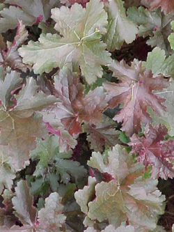 Heuchera'Chocolate Ruffles'