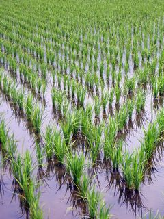 Rice seedlings in Shonai, Oita