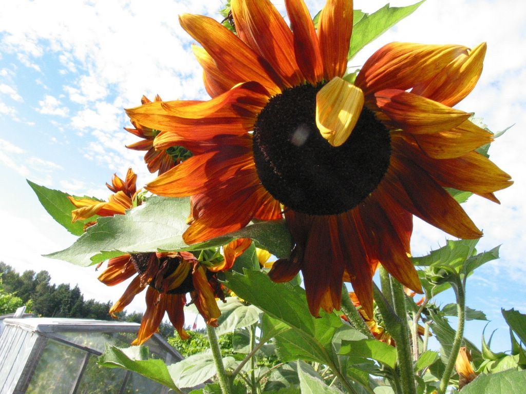 william blake ah sunflower Ah sun-flower by victor vertunni, released 07 march 2011 ah sun-flower ah, sunflower  from william blake's songs of innocence and of experience.
