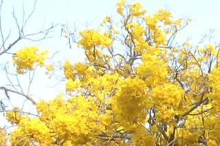 Yellow flowers at IISc