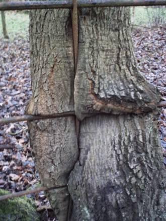 A marshmallow tree