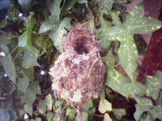 Palestine Sunbird nest