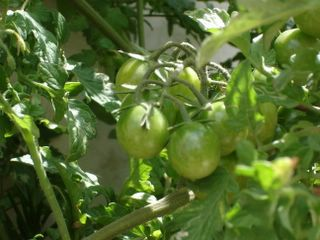 More cherry tomatoes