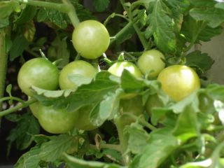 Cherry tomato starting to ripen