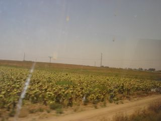 Field of sunflowers, with beehives, seen from the train