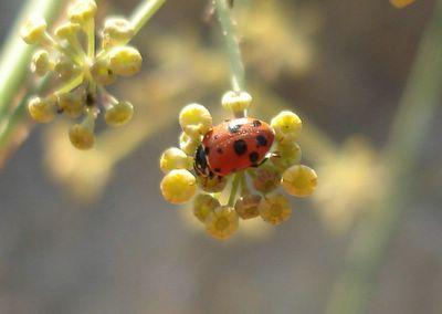 Ladybug on fennel blossom