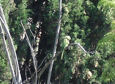 Jerusalem parakeet preening