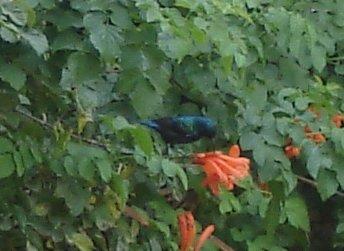 Palestine Sunbird sipping nectar