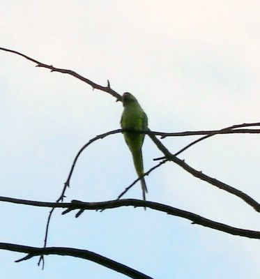 Parakeet on tree branch, just before bedtime