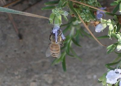 Bee in rosemary flower